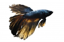 betta_splendens_-_black_knight_plakat_20180911_1946499188