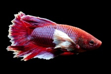 betta_splendens_-_dumbo_betta_20170305_1748888697