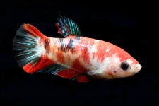 betta_splendens_58_koi_betta