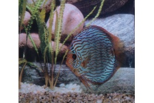 discus_stendker_red_turquoise