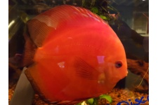 stendker_red_fire_discus