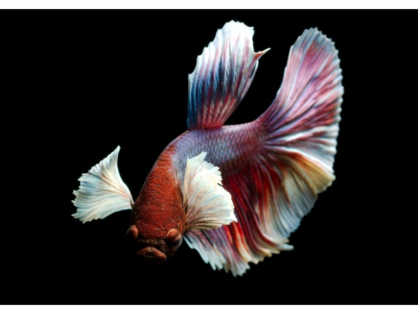 betta_splendens_dumbo_779880766