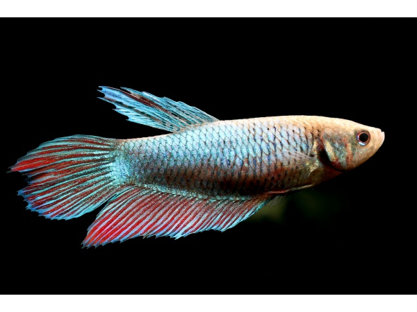 betta_splendens_female_01