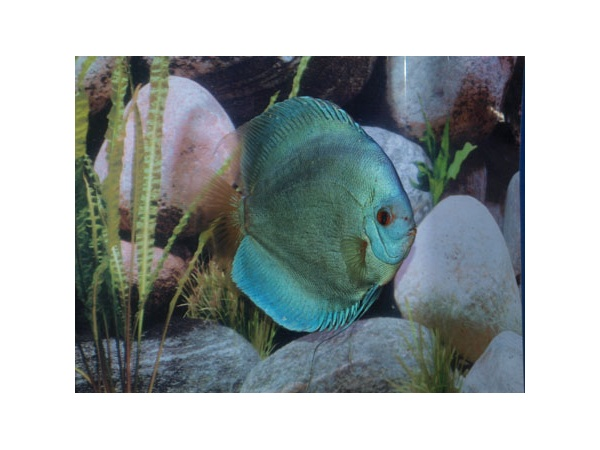 discus_stendker_blue_diamond